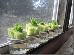 Re-growing #organic lettuce: Stick the crown end in water after you've cut off all the lettuce #growfood