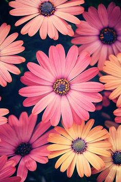 gerbera daisies- my favorite flowers Most Beautiful Flowers, My Flower, Pretty Flowers, Pink Flowers, Happy Flowers, Beautiful Things, Bohemian Flowers, Colorful Roses, Order Flowers