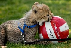 A ten-week-old male cheetah cub named Khayam plays with a volleyball in the grass outside Oregon Pacific Bank in Roseburg, Ore., on Friday, May 11, 2012. (Credit Image: © Robin Loznak)