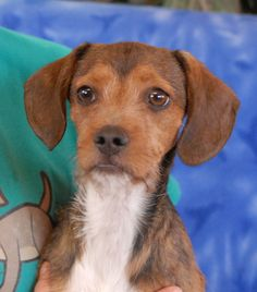 Tropic is an inquisitive, adorable baby boy who loves to sneak puppy kisses on your chin and cheeks.  He is a super cute Terrier & Beagle mix, expected to stay small or grow only to medium size, 5 months of age, now neutered and debuting for adoption today at Nevada SPCA (www.nevadaspca.org).  Tropic enjoys other playful dogs and he reportedly is used to being around cats and older kids.  Tropic needed us when his previous owners moved into a living situation that is not pet-friendly.