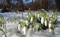 Vintergækker i det kolde forår.