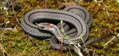 Red-bellied Snake, Storeria occipitomaculata. Photo: Joe Crowley.