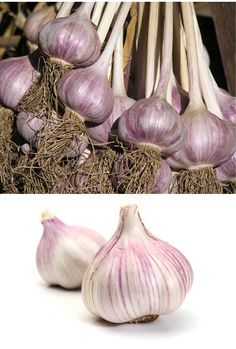 GARLIC is revered in my household for its flavor, and offers magical powers in the garden. Garlic accumulates sulfur which is a natural fungicide that helps with disease prevention in both your body a Rose Companion Plants, Companion Planting, Japanese Beetles, Tomato Farming, Starting Seeds Indoors, Plant Diseases, Farmhouse Garden, Farm Gardens, Veggie Gardens