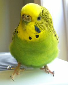 So cute! My parakeet aka budgie Geri.