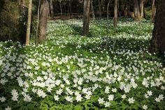 "Springtime in Finland, ""Valkovuokko"" Anemone nemorosa"