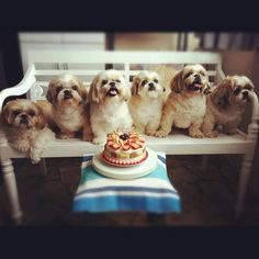 Love shih Tzu s....missing my little Mocha Love.  The one on the end on the left looks just like her!  She adored my husband and vice versa! RIP baby girl!♡♡♡♡♡