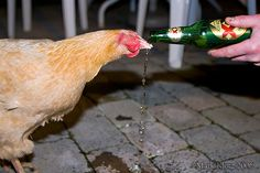 """This is my friend's pet chicken. Her name is conveniently """"Chicken"""". I have never seen a chicken drink beer before, but as it turns out, Chicken loves beer. Don't worry though, she didn't get drunk. She knows her limit.     It's the Season to be Merry. How are you going to cope with all the Parties? By Thinking of your Health?"""