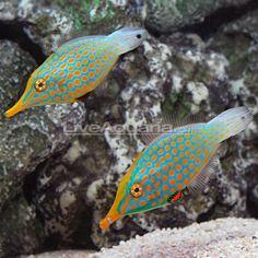 Harlequin file fish