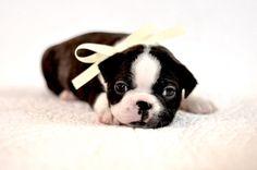4 week old Boston Terrier