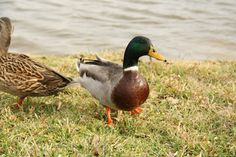 Duck Photography