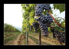 """Some Sangiovese grapes for Chianti """"M.Galardi"""" Wine from our vineyards."""