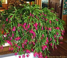 Wow - Isn't this Christmas Cactus plant a gorgeous one? Wow - Isn't this Christmas Cactus pl Succulent Gardening, Succulent Terrarium, Cacti And Succulents, Planting Succulents, Planting Flowers, Christmas Cactus Plant, Easter Cactus, Cactus Flower, Flower Bookey