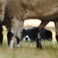 Animals And Pets, Cute Animals, Herding Cats, Yorkshire Terrier Puppies, Collie Dog, Warrior Cats, Fauna, Working Dogs, Australian Shepherd