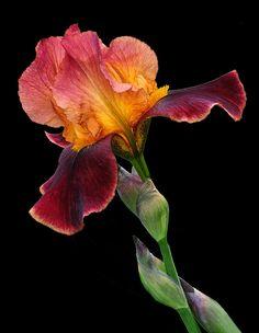 Big Red Photograph is part of Iris garden - Iris Flowers, Exotic Flowers, Amazing Flowers, Planting Flowers, Beautiful Flowers, Flower Images, Flower Photos, Flower Art, Iris Painting