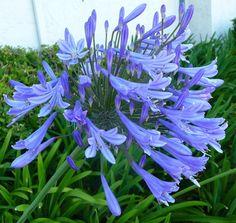 Agapanthus  Blue Shrub in a 9cm pot  Shrub Perennial  plant 1plant From £5.99