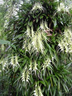 Brassia verrucosa ranges from Mexico to Brazil. Orchids growing from trees