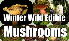 Winter Wild Edible Mushrooms. Knowing how to forage wild mushrooms is hard skill to learn. If you are not 100% certain it is edible don't eat it.