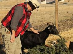 PHOTO: Vince Thomas, founder of Goat Grazers, pets his goat Daisy after feeding her a pine tree in Reno on, Dec. 23, 2014.