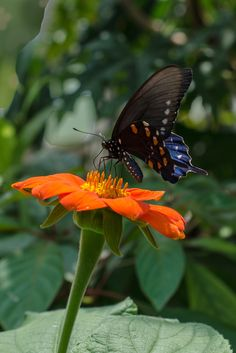 Butterfly rests on a zinnia