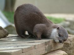 "conversation-slips: "" Asian Otter (by Dunerunner) "" Cute Funny Animals, Cute Baby Animals, Animals And Pets, Wild Animals, Otters Cute, Baby Otters, My Spirit Animal, My Animal, Otter Love"