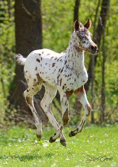 "Appaloosa foal running through the forest meadow ""Kickin It Up!"""