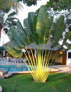 Cheap cycas seeds, Buy Quality tree seeds directly from China palm seeds Suppliers: Perennial Plant Palm Seeds Tropical Cycas Seed * Garden Rare Tree Seeds 2016 Rare Canna Palm Plants Flower Sementes Palm Trees Landscaping, Tropical Landscaping, Landscaping With Rocks, Tropical Garden Design, Tropical Plants, Exotic Plants, Tropical Gardens, Garden Trees, Garden Pots