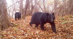 "Japanese black bears live in forested regions of Honshu and Shikoku. The bears are ""ecosystem engineers,"" a new study claims, because when they break tree branches, the gaps allow light to reach other plants. ~~ Takahashi et al/PLOS ONE 2015 (CC-BY 4.0)"
