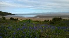 Bluebells near the beach at Sandyhills on the Solway Coast, Dumfries and Galloway. May 2014. B.