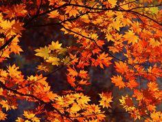 ¿Hay una manera de preservar las hojas de otoño para proyectos de artesanías? Las hojas se secan y se rizan, por lo que se convierten en un reto para hacer artesanías. Sus vibrantes colores también tienden a desvanecerse. Usar una prensa para plantas (o un libro pesado) es una forma de preservarlas, pero se vuelven frágiles.
