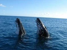 Humpback Whales taking a peek at our world.  Or are they synchronized swimming?