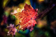 Autumn Maple Leaf Autumn is in full bloom as it colours a lone maple leaf still clinging to a branch. Autumn Art, Stage Design, Fine Art America, Bloom, Artwork, Nature, Newfoundland, Photography, Colours