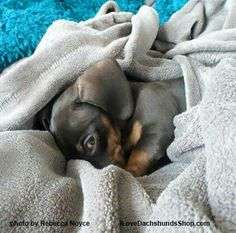 """Get excellent recommendations on """"dachshund puppies"""". They are offered for you on our web site. Dachshund Funny, Dachshund Puppies, Dachshund Love, Cute Puppies, Cute Dogs, Dogs And Puppies, Beautiful Dogs, Animals Beautiful, Baby Animals"""