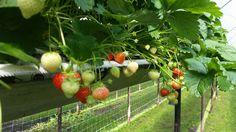 Aardbeien plukken.