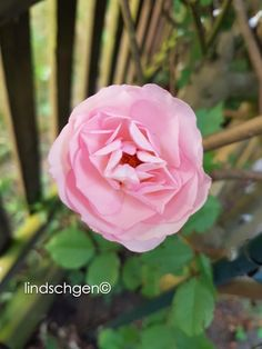 Rose, Flowers, Plants, Lawn And Garden, Pink, Roses, Florals, Plant, Flower