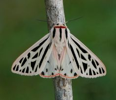 grammia arge - I want to make that lacy wing pattern in metal and enamel it.