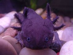 purple axolotl aka water dog, Yes, please!