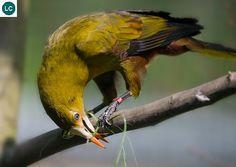https://www.facebook.com/WonderBirdSpecies/ Green oropendola (Psarocolius viridis); Amazon basin and Guianas of South America; IUCN Red List of Threatened Species 3.1 : Least Concern (LC)(Loài ít quan tâm)    Chim Oropendola lục; Vúng châu thổ sông Amazon và Guianas Nam Mỹ; HỌ HOÉT TÂN THẾ GIỚI - ICTERIDAE (Icterids).