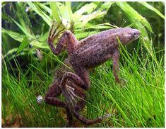 Crabs For Sale, Fish For Sale, African Frogs, Dwarf Frogs, Frog Tank, Floating Plants, Frog Pictures, African Cichlids, Cute Frogs