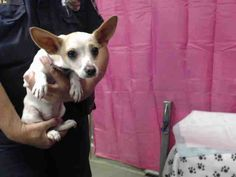 This DOG-ID#A600661  I am a female, white and tan Chihuahua - Smooth Coated.  The shelter staff think I am about 8 months old.  I have been at the shelter since Jul 20, 2014.  This information was refreshed 57 minutes ago and may not represent all of the animals at the San Bernardino County - Devore Shelter.