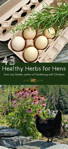 43 Healthy Herbs for Hens - Read about the 43 healthy herbs for hens in this guide by Master Gardener, herbalist, and chicken expert, Lisa Steele, on the health benefits of culinary herbs.