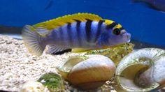 img_23_cb5ea07912.jpg (4000×2248) Labidochromis sp. 'hongi'