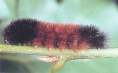 Silk Moth Caterpillar   Caterpillars of the Arctiidae family are often called woolly bears due ...