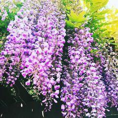 #꽃#등나무꽃#향기#보라색#It's beautiful#예쁘다#Purple#flower#좋아요# . . . . . #꽃스타그램#예쁘다그램#가족#사랑#행복#건강#최고#일상#소통#인친#맞팔#선팔#인증샷# by bluelemon204