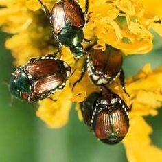 Control japanese beetles