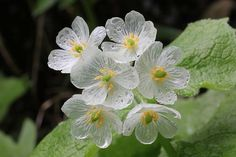 Diphylleia grayi Common Name: Asian Umbrella Leaf Family: Berberidaceae (The Barberry Family)