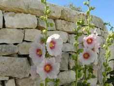 These are not just a list of cottage garden perennials, but a list of low maintenance perennials sure to beautify your garden. Hollyhocks Flowers, Plantation, Horticulture, Pink Roses, Planting Flowers, Flowers Garden, Perennials, Floral Wreath, Bouquet