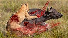Cape Buffalo Vs Lions|Buffaloes Gore Lion To Death|Buffalo Attack And Ki...