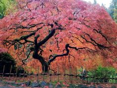 Majestic Maple Anese In The Garden Portland Oregon Usa Pixdaus