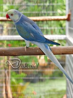 A blue Indian Ringneck Parakeet