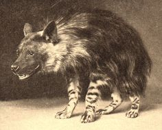 ShukerNature: THE BEAST OF GÉVAUDAN - WOLF, MAN...OR WOLF-MAN?